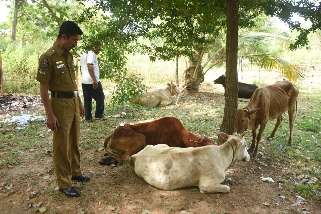 இறைச்சிக்காக கடத்திச்செல்லப்பட்ட மாடுகள் மீட்பு | Virakesari.lk