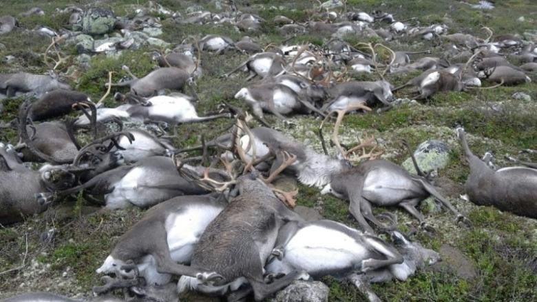 Freak_lightning_storm_kills_323_reindeer
